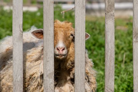 animal sheep with dirty hair looking over the fence. animal in the paddock summer day