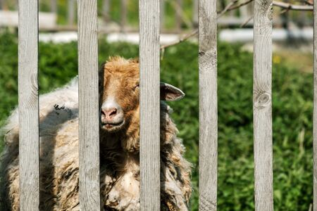 sheep on the other side of a wooden fence in the background of green grass. the agro-tourism demonstration sheep over the fence Stockfoto