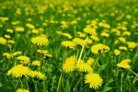 spring field of yellow dandelions. the background is out of focus too dandelions