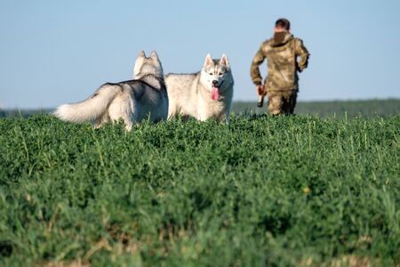 two dogs look at each other in the foreground in the grass in the background a man is leaving. the rivalry between the dogs and the owner