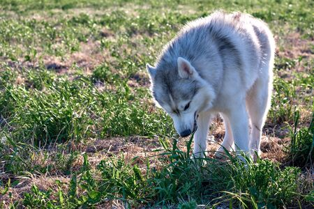 husky dog in a clearing on a Sunny day eating grass. eating grass dog to improve digestion