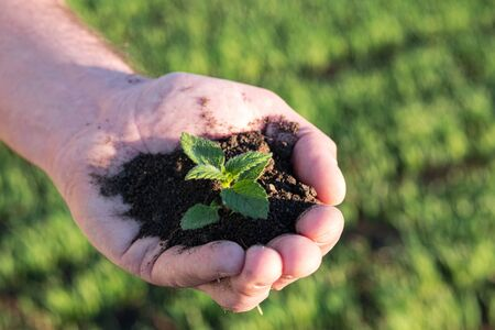 a human hand in a handful of soil and plant. preservation of cultural breeds of agriculture evening light on the field