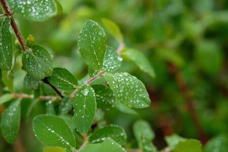 leaves in raindrops shrubs summer rain footprints on the leaves