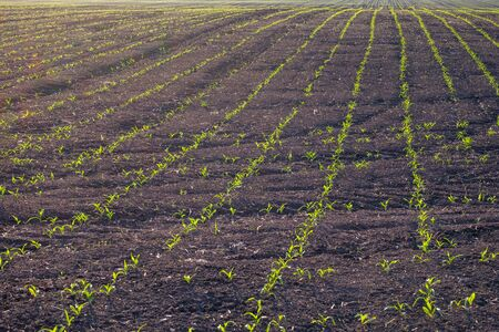 on a black field with brown soil under the sunset light grow young shoots of corn. the success of the farmer's young corn