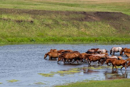 a lot of horses coming down the river and drink water from the waterhole grazing horses Banco de Imagens