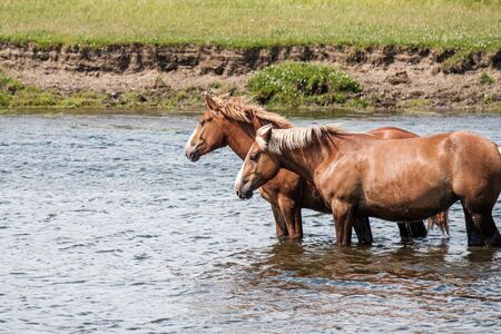 two horses at a watering hole stand next to each other in the river