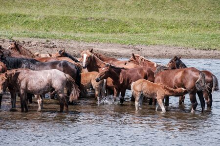 big horses and foals in the water at the watering hole on a warm summer day