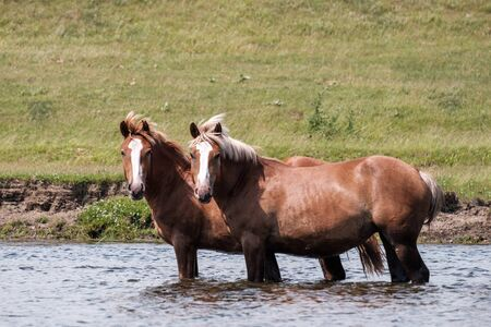 two horses are standing in the river knee deep in water looking in the same direction