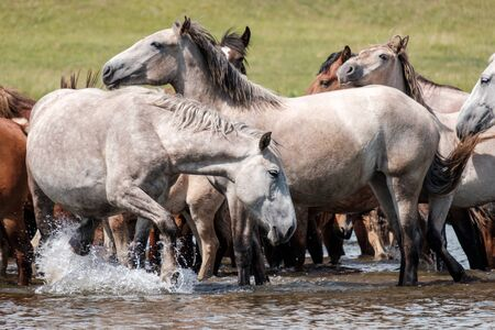 light horses drink water in the river on a hot day knee deep in water Stockfoto