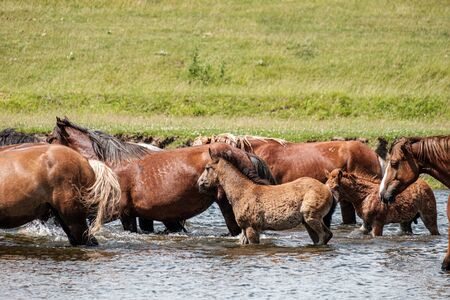 Bay horses at the watering place in the river a lot of pieces Stockfoto