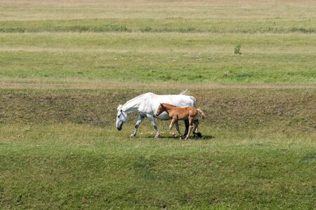 a large adult horse and a small foal are grazing in the meadow next to a clear Sunny summer day