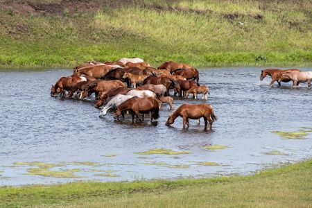 a herd of horses at the watering place greedily drink water on a hot summer day in the river Stockfoto