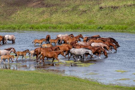 horses go down the river and drink water on a summer day herd