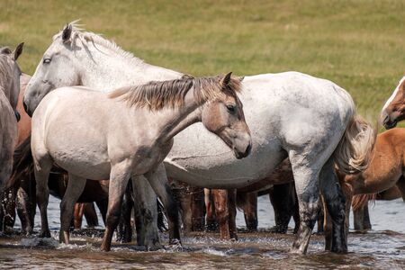 white horses in the river on a warm summer day a large number