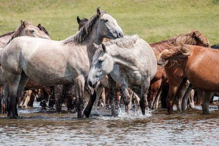 weiße Pferde im Fluss an einem heißen Sommertag an einer Wasserstelle