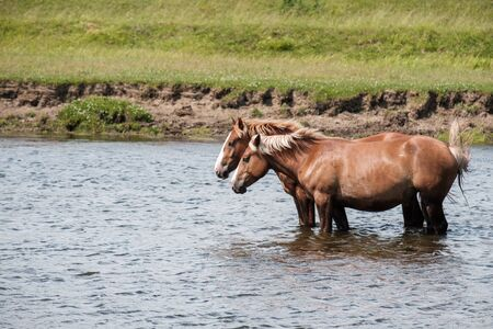 two horses in the river are knee deep in the water on the Bank of the grass grows Stockfoto