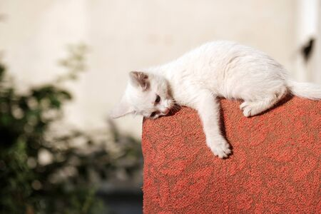 a white kitten lying on the back of a red chair is tired of games. summer day stray cat