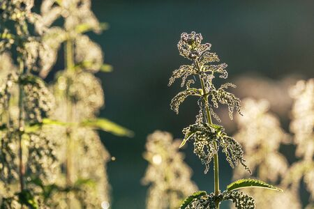 nettle plant in the background light in the early morning