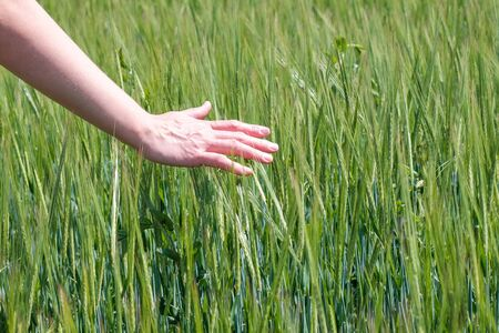 hand touches the spikelets of cereal plants on a farm field