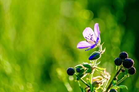 view from a low point of shooting on meadow grass foreground lilac field flower on a background of green grass bright large highlights and spots of bokeh.