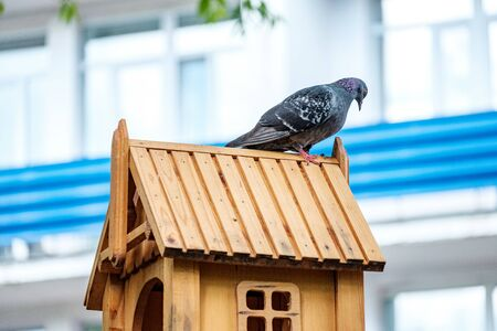 a pigeon on the roof of a small wooden bird house has turned its head and is looking somewhere. a bird in the place where the food is