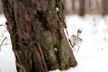 the human skeleton peeps out from behind a birch trunk in the winter. concept of death of nature and man