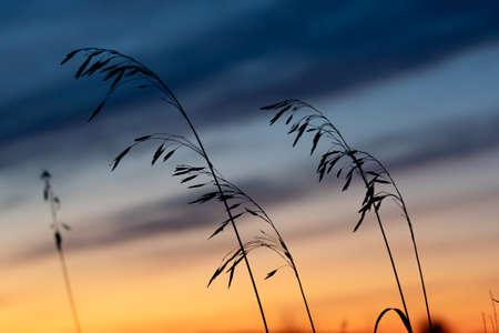 grass against the sunset sky in the evening. disturbing sky and grass