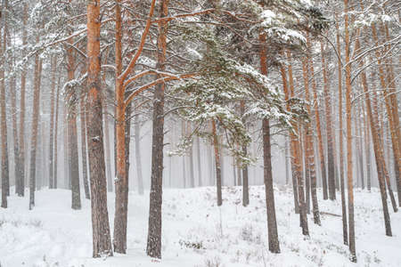snowstorm in a pine forest trees and snow can easily get lost Фото со стока