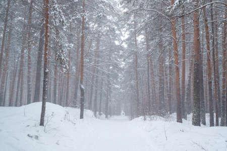 pine forest it snows in winter. pedestrian road in lem park in winter