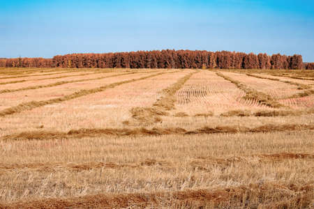 autumn field is tinted a warm, swaths of cut grass and a blue sky to the horizon