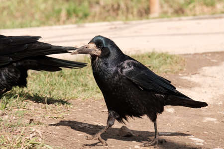 running bird rook on the background of trails and grass. black bird walks on the ground Stock Photo