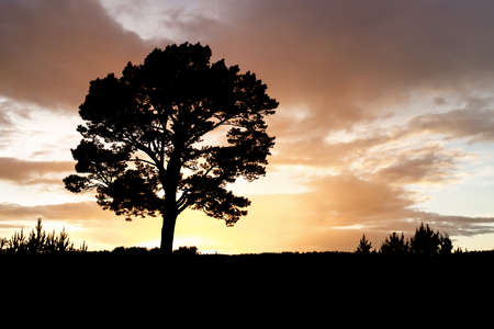 Silhouette of a lonely pine tree at sunset