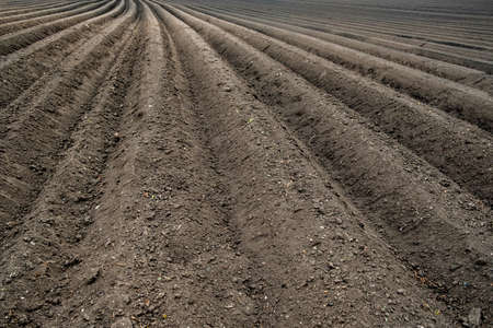 rows of cultivated soil with potatoes planted in the field. recent potato planting