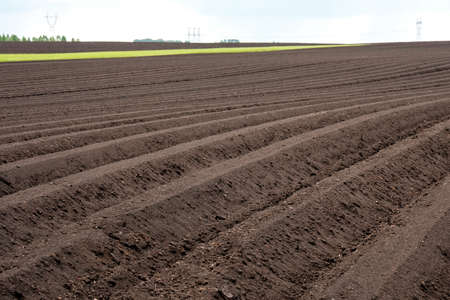 rows stretching into the distance on an agricultural field. rows of planted potatoes not grown