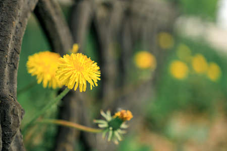 dandelions sprouted through the fence, the background is blurred green grass. spring flower view Stock fotó