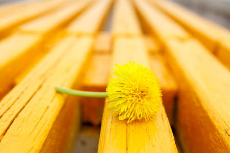 yellow dandelion on a yellow bench with old wooden boards. yellow on yellow Stock fotó