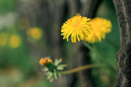 two dandelions protrude from a cast iron fence in spring during flowering. spring flowers and green grass
