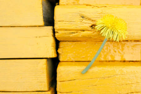 yellow dandelion flower against the background of a yellow bench made of boards. yellow on yellow outdoors
