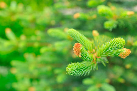 fresh spring sprouts on a coniferous tree. spruce shoots