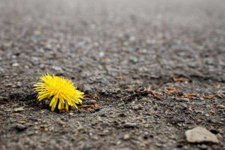 yellow dandelion flower on rough asphalt. contrast tenderness and stones