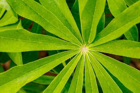 green leaf of a plant with arrows growing from the center. close-up of a palm-like plant top view