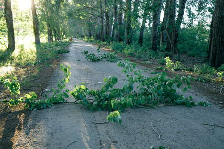 poplar branches that have fallen on the sidewalk due to the wind. effects of strong wind Stock fotó