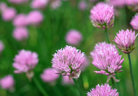 lilac flowers on a background of a meadow in the summer. onion plant
