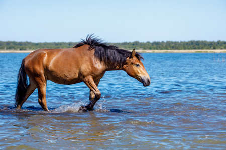 a horse walks on a hot day on the water stretching out its head, horse resting on the pond Stock fotó