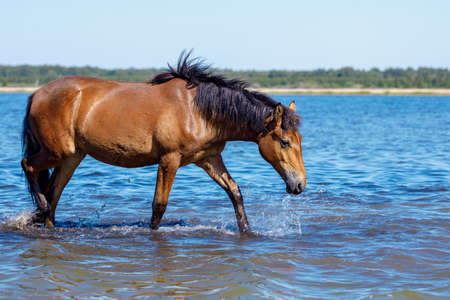 a horse walks on a hot day on the water with his head bowed to the water. horse's thirst