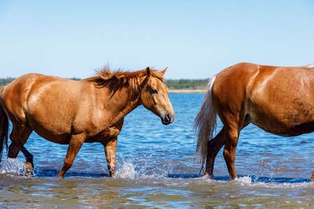 a horse follows another horse in the water. background pond and horizon