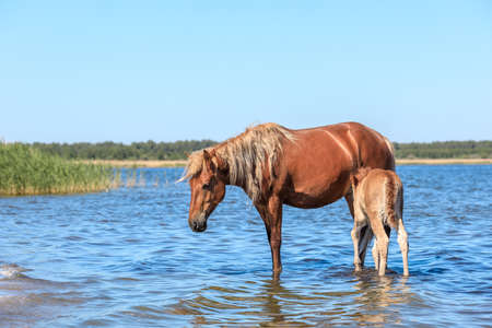 a horse and her child stand in a pond in the water on a hot summer day. mare and foal at rest