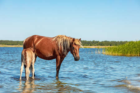a horse with a small foal stands on the shore of a lake in the water. animals during hot summer weather
