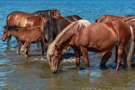 a group of horses stand in a pond and drink water, hot summer day
