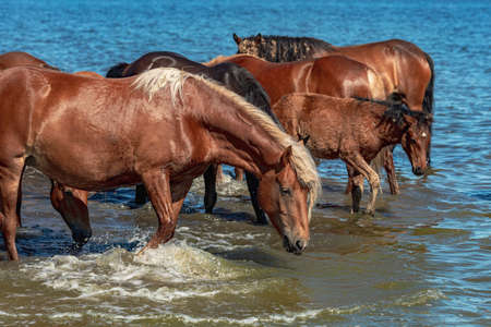 red horses at a watering hole stand in the water in the lake. on a hot summer day a herd of horses Stock fotó